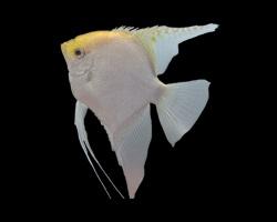Ciclidos mundo acuatico for Pez escalar enfermedades