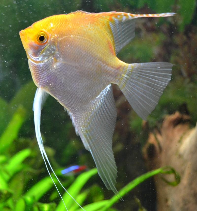 pez escalar o angel mundo acuatico