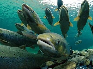 Salmon Kunimasu